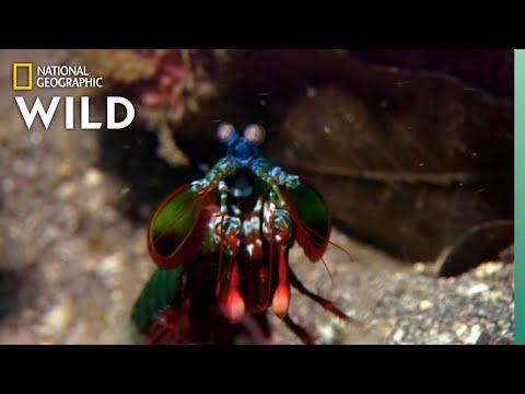 Mantis Shrimp Packs a Punch | Predator in Paradise