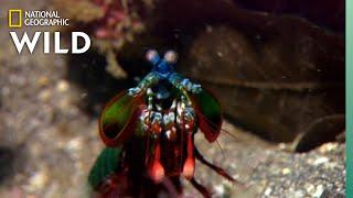 Mantis Shrim…