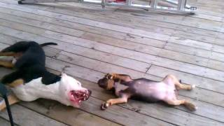 Siroc Beautiful Tri Colored Pitbull Terrier Playing With Tri Puppy