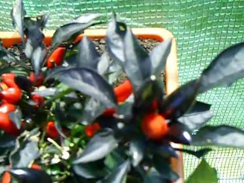 Brads Greenhouse chillis