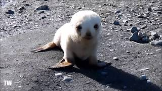Baby ALBINO Seal Playing On The Beach!