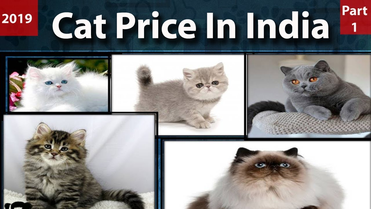 Cat Price In India L Cat Breeds In India L Pet Cats Price In India L Persian Cat Price In India Youtube