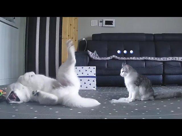동생이 말썽피우자 고자질하는 고양이