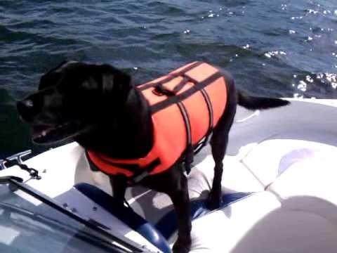 Black lab jumping off boat - saratoga lake