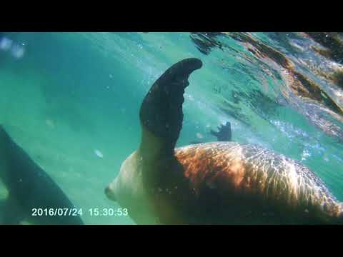 Baird Bay sealions 2