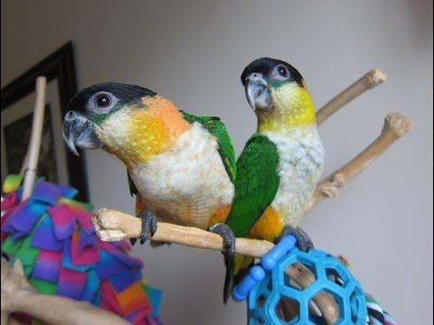 Mavis and Merlin play with Georgina — Baby Caiques