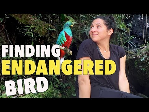 Guatemala's ENDANGERED Species| Quetzal |Guatemala Travel Series|WhatWouldKarlaSay