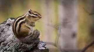 Смешные животные: бурундуки в уральском лесу