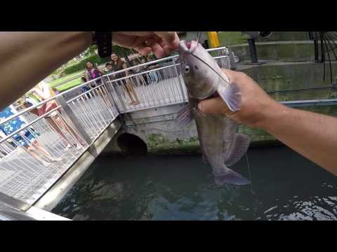 Downtown Chicago River Channel Catfish Drop Shot Fishing
