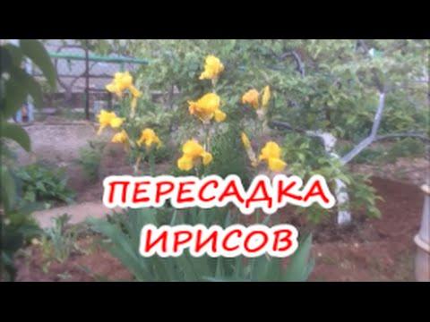 Iris x Barnumae Фотография Полонской Светланы