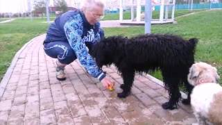 "Испанская водяная собака.Щенок""Чара"""