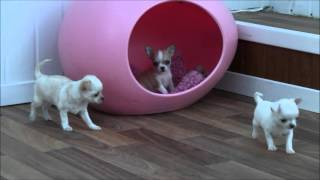 Chihuahua Puppies 19th January 2016