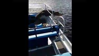 В США аллигатор прыгнул в лодку к туристам