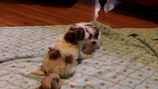 Coton de Tulear Puppies For Sale - Ivy 1/16/20