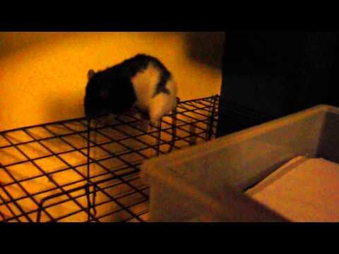rat escape artist ft. nilla wafer