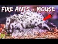 I Gave My Fire Ants a Mouse