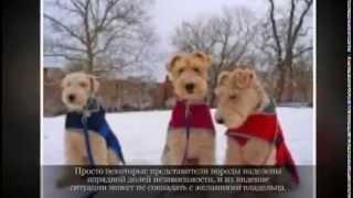 Маленькие породы собак  ФОКСТЕРЬЕР