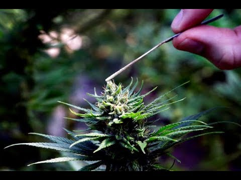 The UK's ban on cannabis explained in 90 seconds