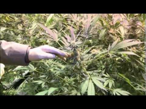 Drogenanbau bei der Polizei: Die Cannabis-Cops von Hamburg