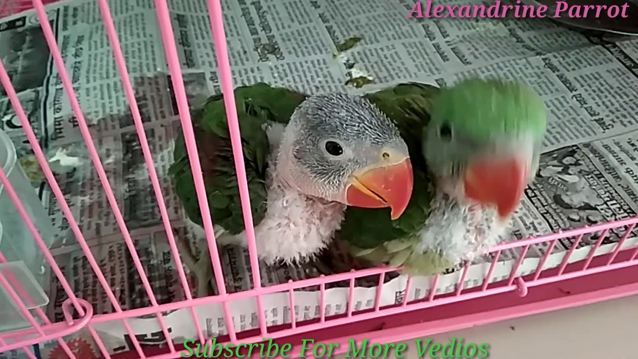 Image Result For Parrot Talking Training In Hindi
