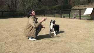 ボーダーコリーとお昼休み♪ボール遊び 初めて見るボールなのに、ちゃん...