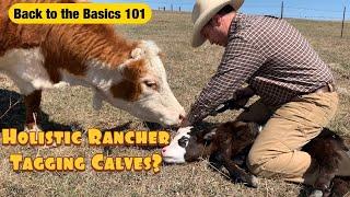 Tagging newborn calves