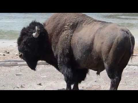 Bison Rolling in Dirt --Yellowstone National Park's Mud Volcano