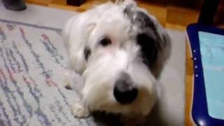 ちょーだい! シーリハム・テリアDEN Sealyham Terrier ~DEN.