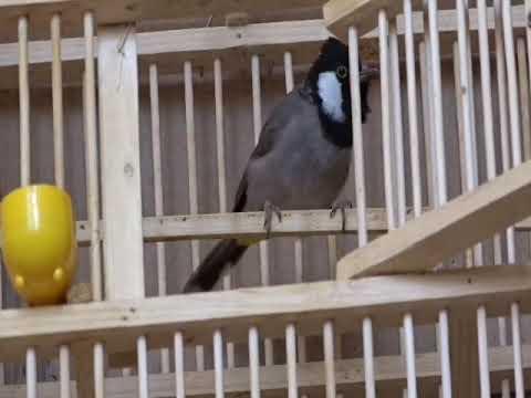 Photo of بلبل يغرد ( يقلد) نغمة رنين هواوي Bird immitating huwaei tone – هواوي