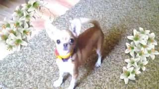 Мини Чихуахуа играется. Весёлая и смешная собака \ Mini Chihuahua played