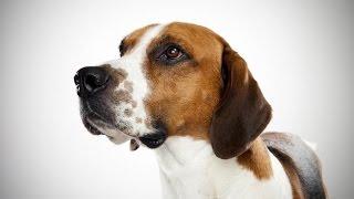 El Foxhound Inglés es una raza antigua creada a partir de perros fr...