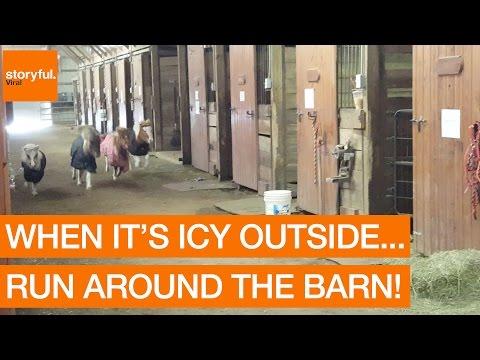 Adorable Mini Horses Race a Dog Around Barn (Storyful, Animals)