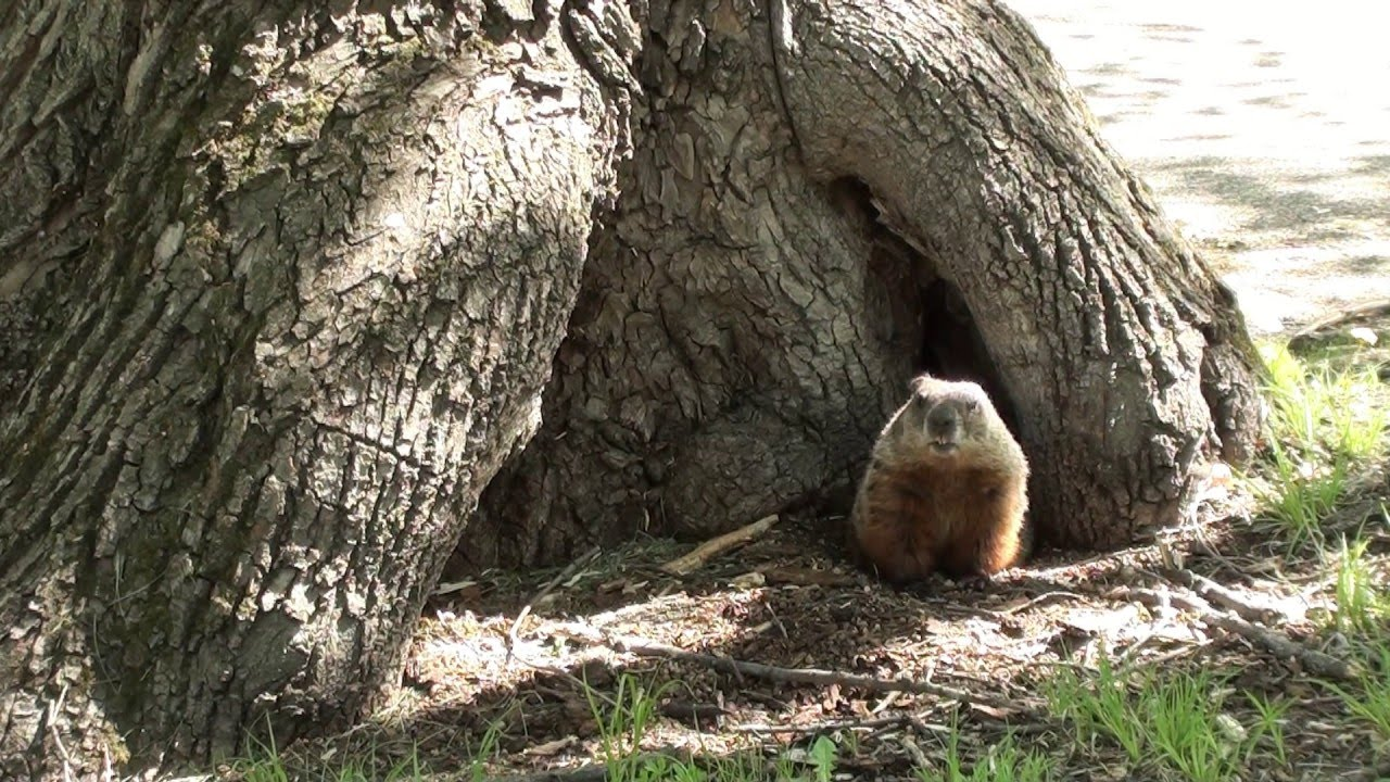 woodchuck ground hog youtube