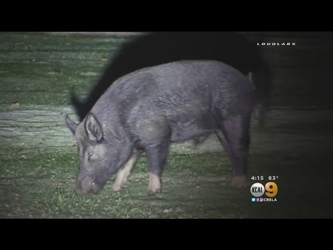 Hunters Ask For Permission To Kill Boars In Riverside's Fairmount Park