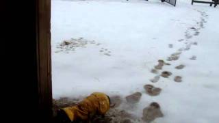"""Ammo The Dachshund Braves The """"winter"""" To Feed The Ponies"""
