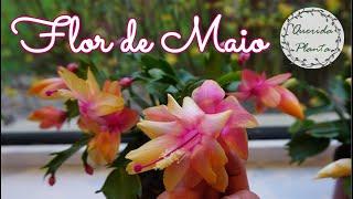 Dicas Que Ninguém Passa – Flor de Maio e Cuidados Dessa Querida Planta Suculenta