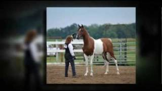 Arabian Cross Gelding