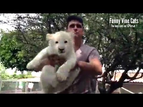 Lion King in real life !! – Funny Vine Cats #9