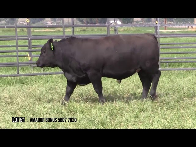 Mid Valley Bull Sale Lot 51