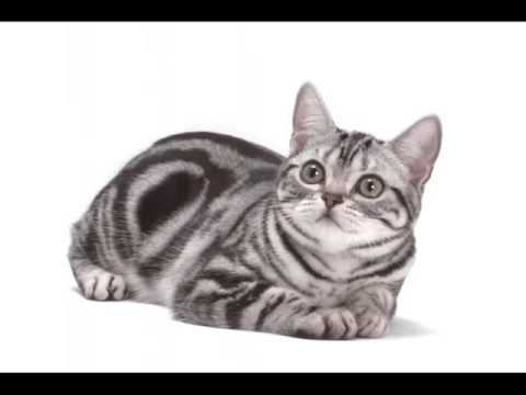 American Shorthair | Cat Picture Collection