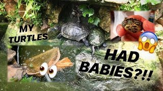 The TURTLES in my POND had BABIES?!! WHAT HAPPENED to THE REST??