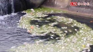 水中溶氧量過低 礁溪水溝突現大量死魚(民眾提供)