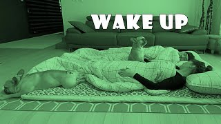 What Do My French Bulldogs Do When I Sleep On The Floor [Funny Dog Reaction]