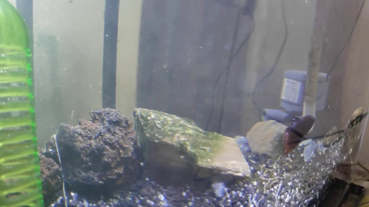 Ikan cupang langka - YouTube