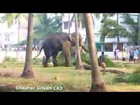 Elephant attack near chavakkad town- Part 2