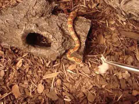 Schlangenkot