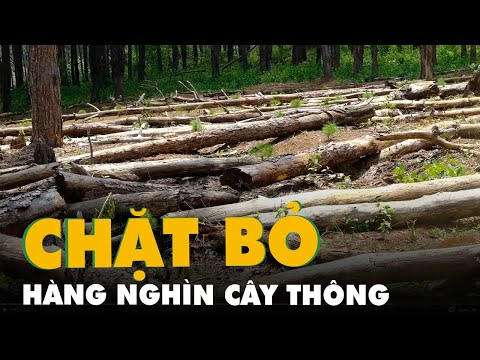 Chặt hạ hàng ngàn cây thông dọc con đường đẹp nhất Tây Nguyên