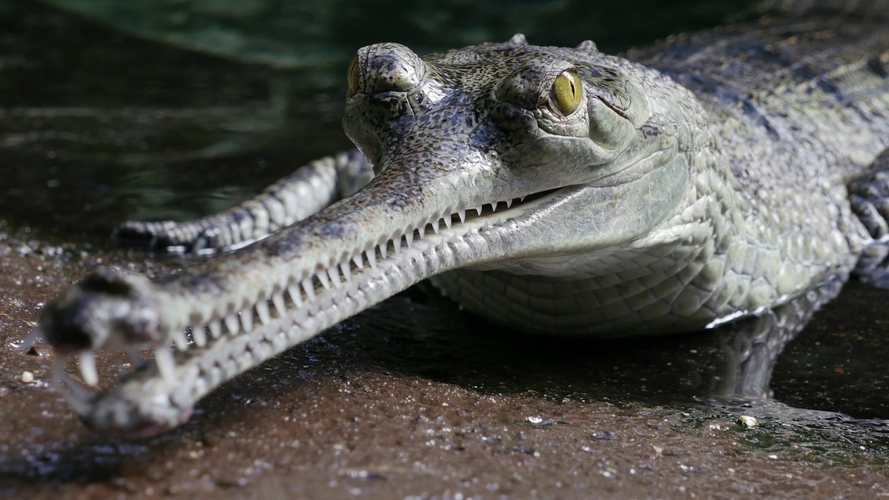 Gharial Conservation at the Bronx Zoo - YouTube