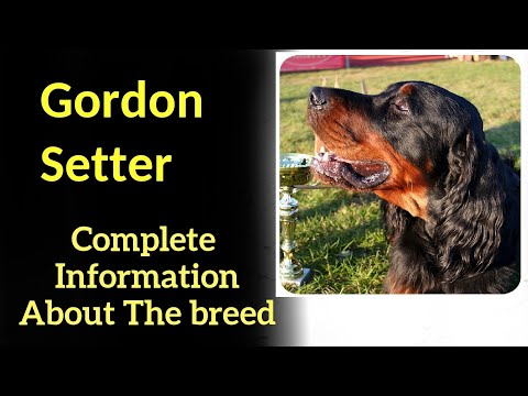 Gordon Setter. Pros and Cons, Price, How to choose, Facts, Care, History