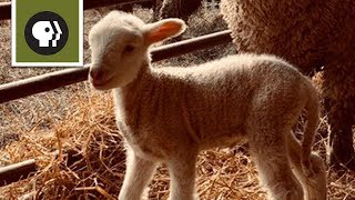 Watch a Baby Lamb Take Its First Steps